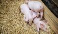 bolesti svinja