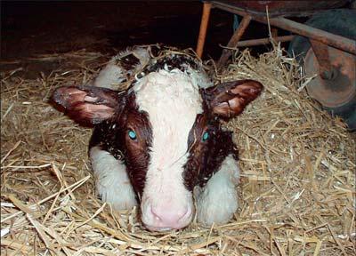 ishrana krava posle teljenja