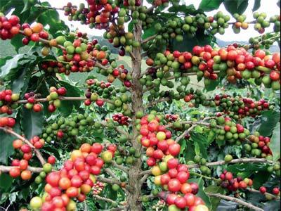 proizvodnja kafe