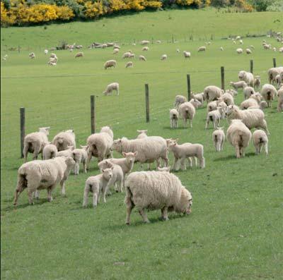 proizvodnja vune