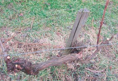 odrzavanje vinove loze