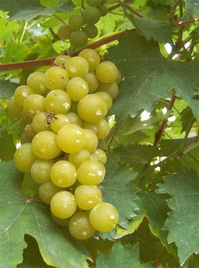 uzgoj vinove loze