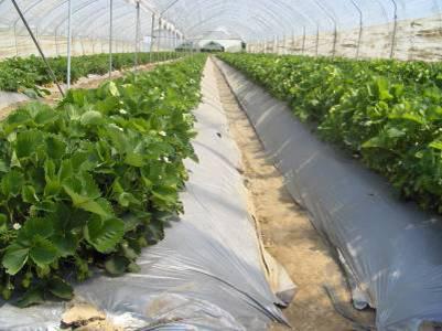 proizvodnja jagode u plasteniku