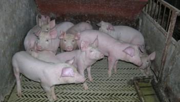 svinjsko-meso