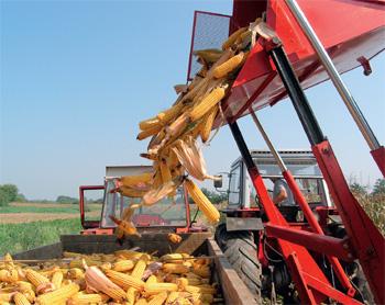 plesnivost klipa kukuruza