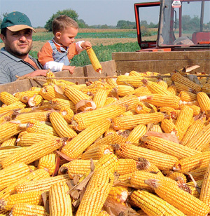 plesnivost zrna kukuruza
