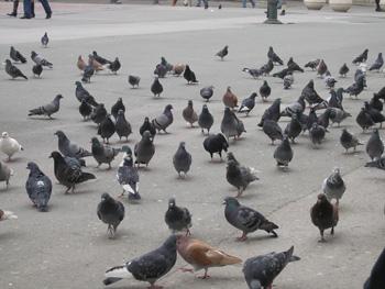 parenje golubova